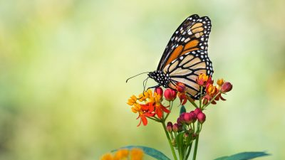 Casa Up Close: Life of the Monarch Butterfly
