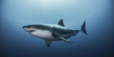 Casa Up Close: All About Great White Sharks