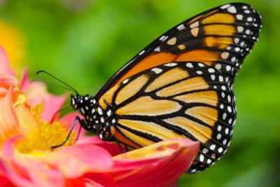 Monarch Butterfly Gardens for Kids