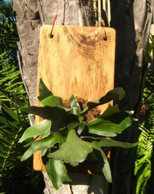 How to Grow Staghorn Ferns