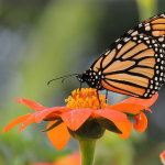 Monarch Butterfly Gardens