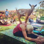 Goat Yoga at Sherman Gardens