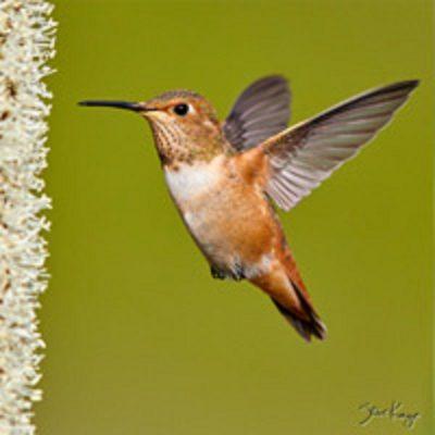 Fullerton Arboretum Online:  Hummingbird Photograp...