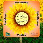 Fullerton Arboretum:  Sunflowers