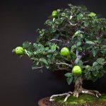 Bowers Museum:  Bonsai Demystified