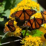 Bowers:  Roar of the Monarch Butterfly