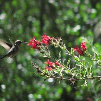 hummingbird_best_gambelia_speciosa