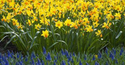 Daffodil Show