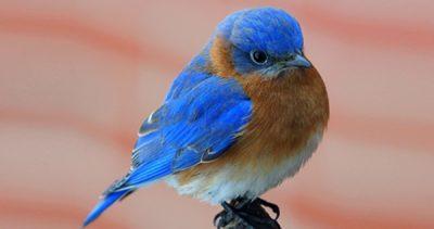 Backyard Bluebirds with Bob Franz