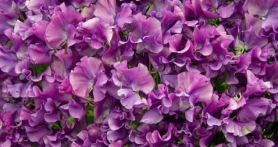 The Sweet Pea Show & Contest