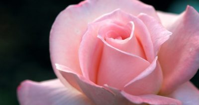 Mother's Day Complimentary Rose & Photo