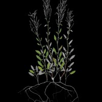 J.W. Fike's Photographic Survey of the Wild Edible Botanicals of California